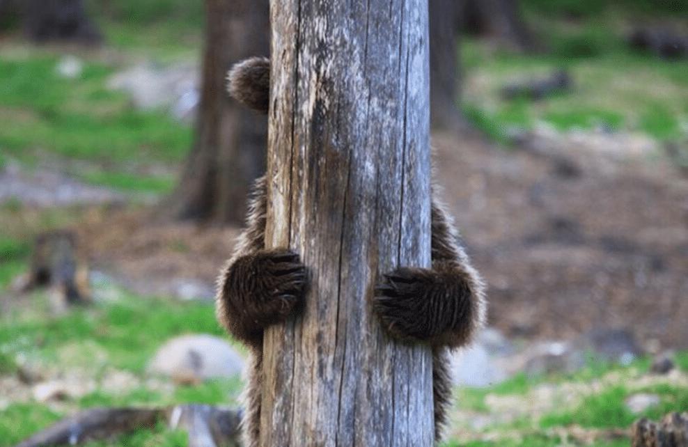 Un ourson caché derrière un arbre