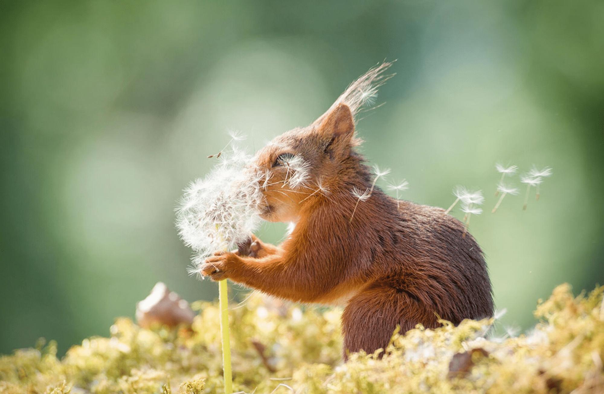 Un écureuil souffle un pissenlit