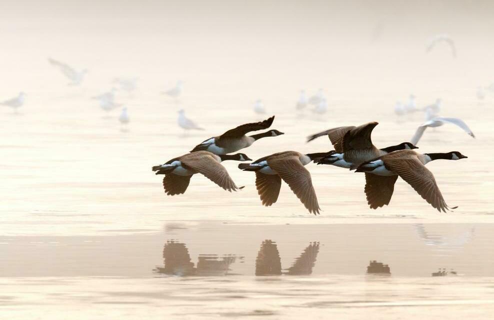 Des canards entrain de voler