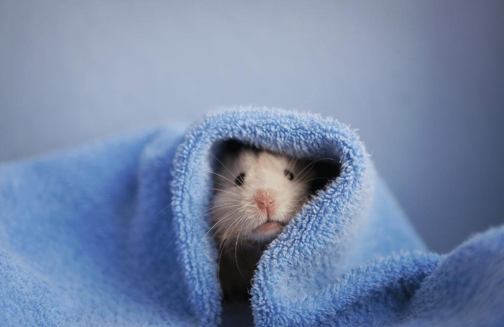 Le hamster ne doit pas être lavé