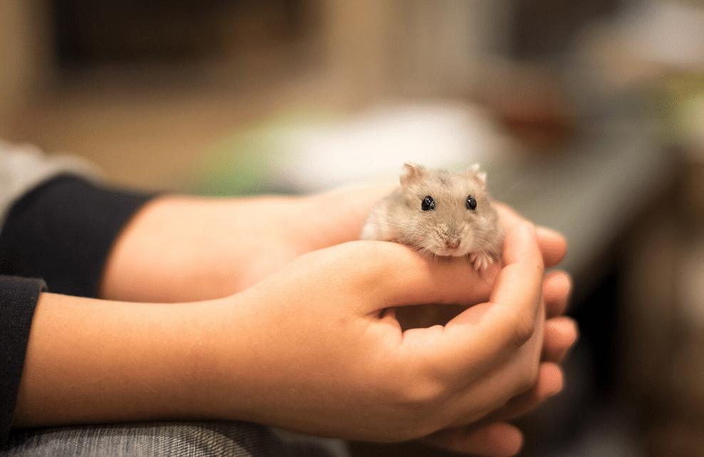 Le hamster, l'ami des petits