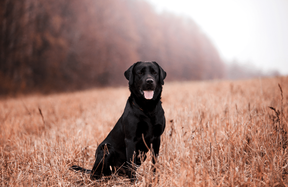 Un chien noir dans un champs de blés