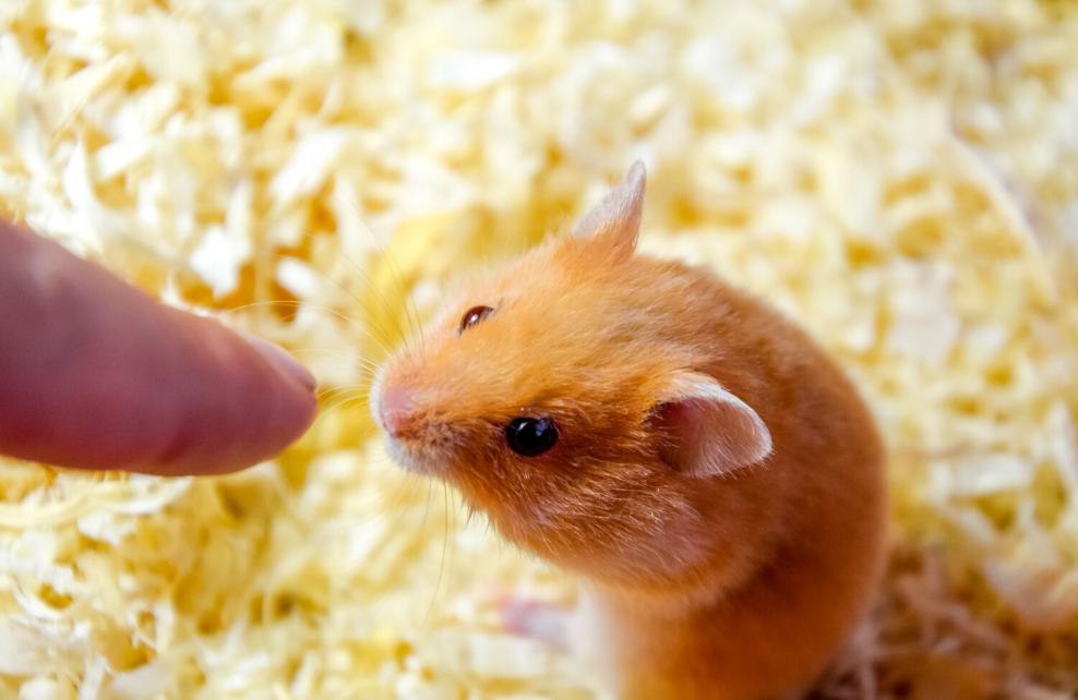 Le hamster est un croqueur de doigt