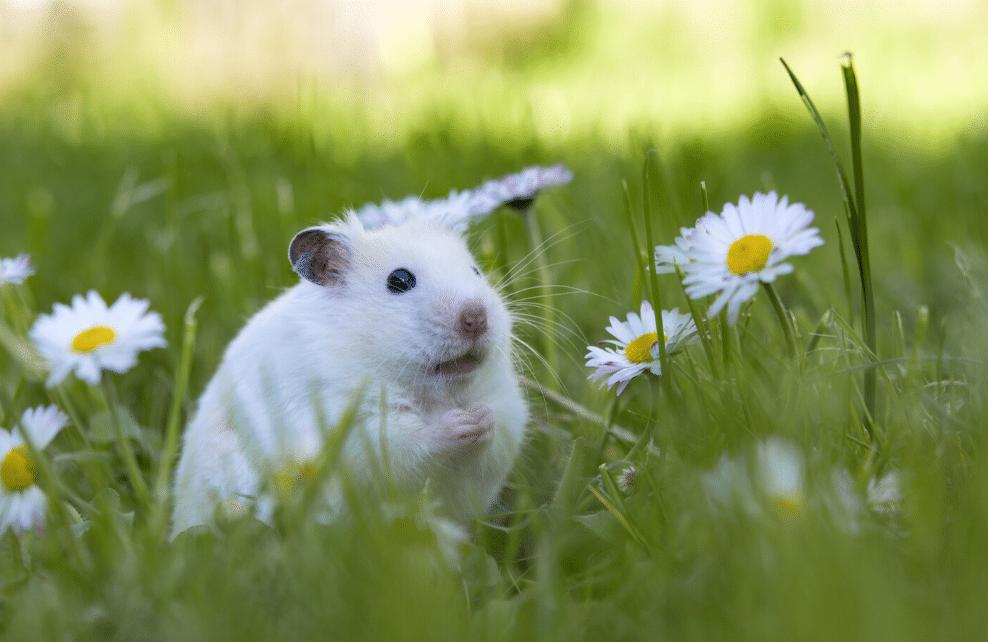 Le hamster ne peut pas vivre en cage