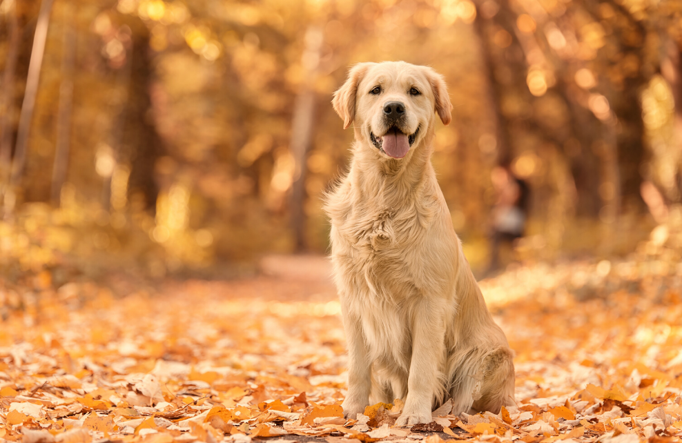 Un chien en promenade à l'automne