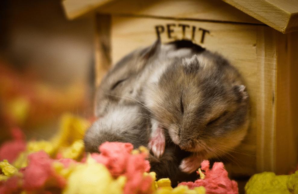 Le hamster est un animal diurne