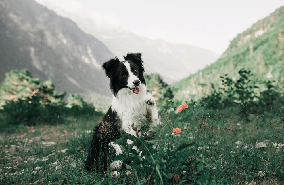Un chien à la montagne