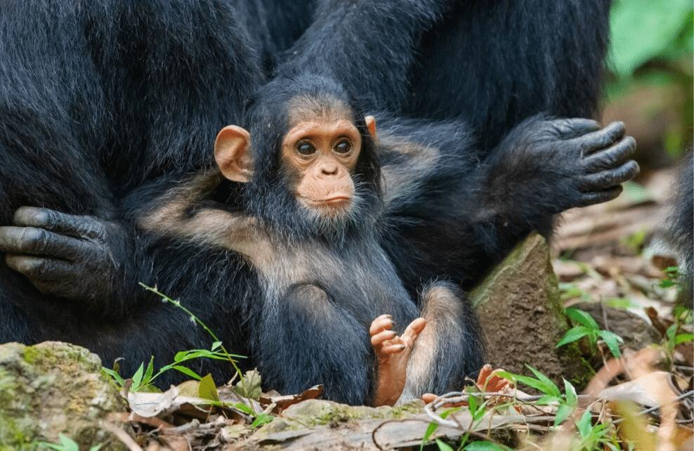 Un bébé singe se reposant