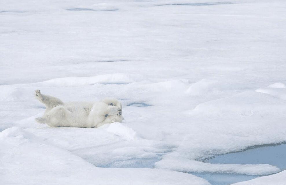 Un ours polaire sur la banquise