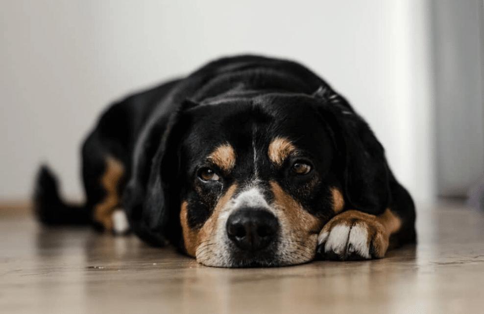 Un chien apaisé