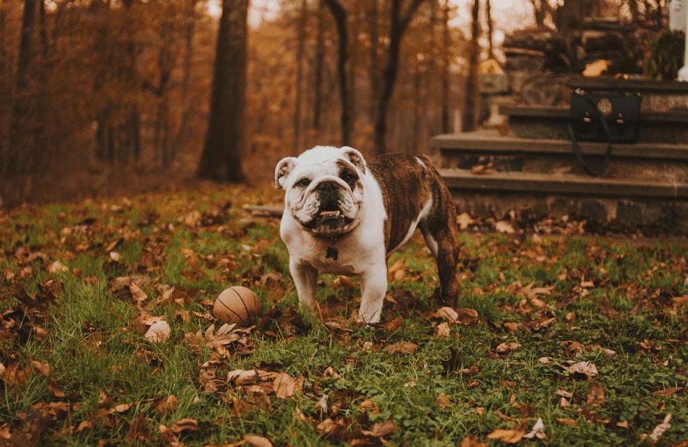 Un bulldog qui joue à la balle