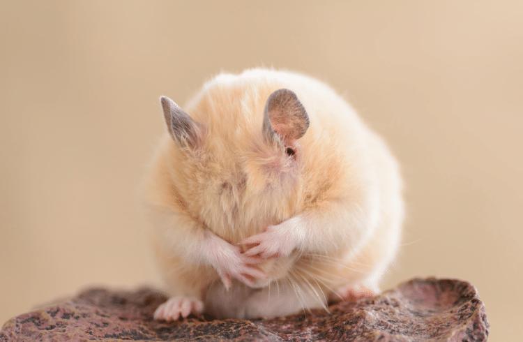 Un petit hamster qui se nettoie le visage