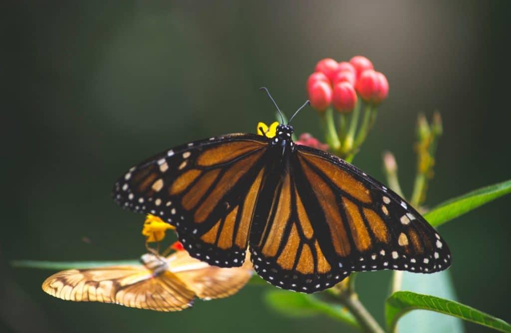 Papillon butinant une fleur