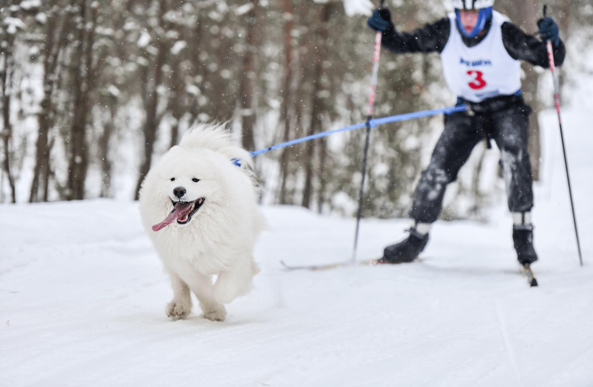 Le ski joëring, ou comment faire du ski avec son chien