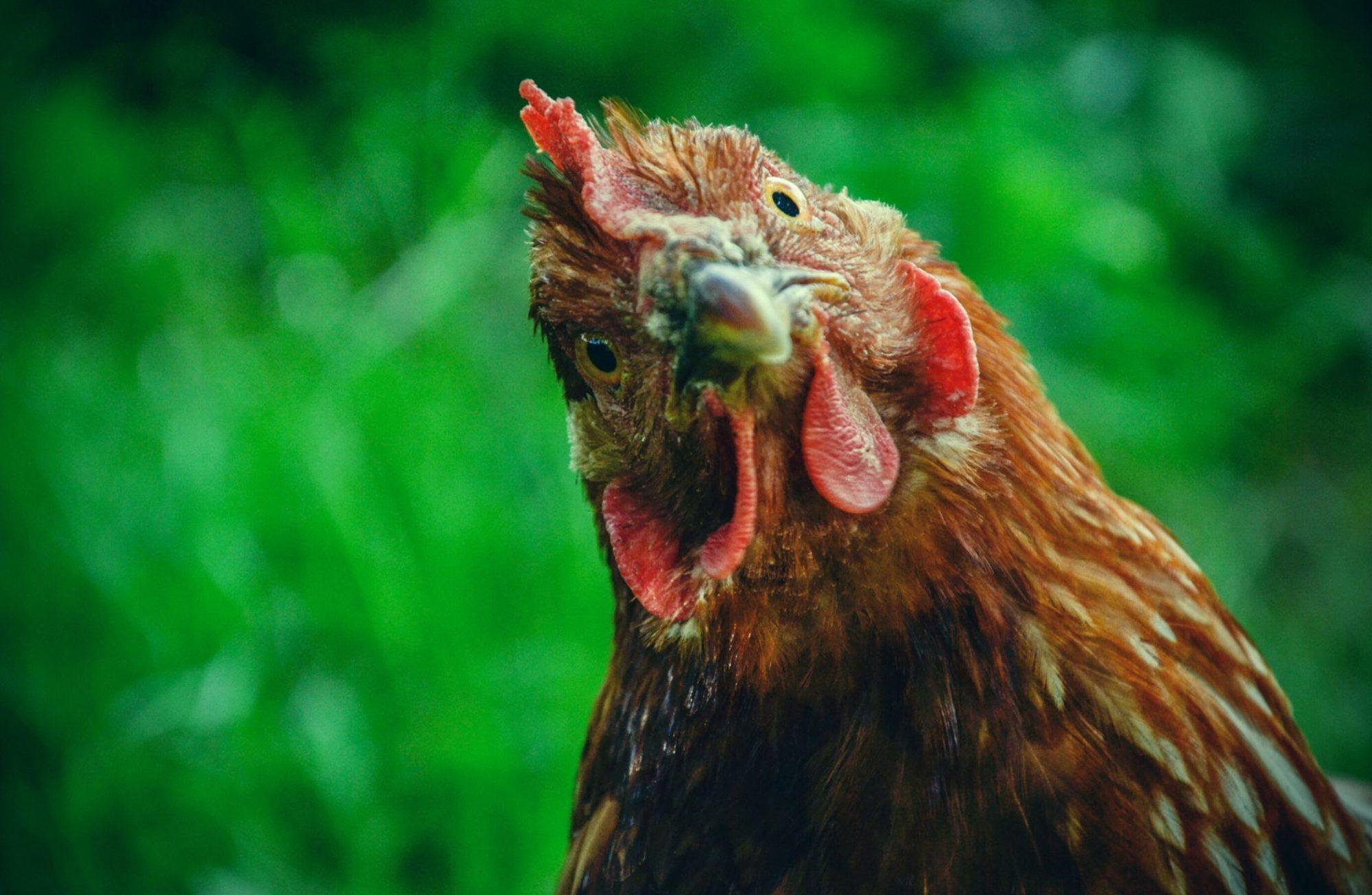 Top 5 des meilleures poules pondeuses