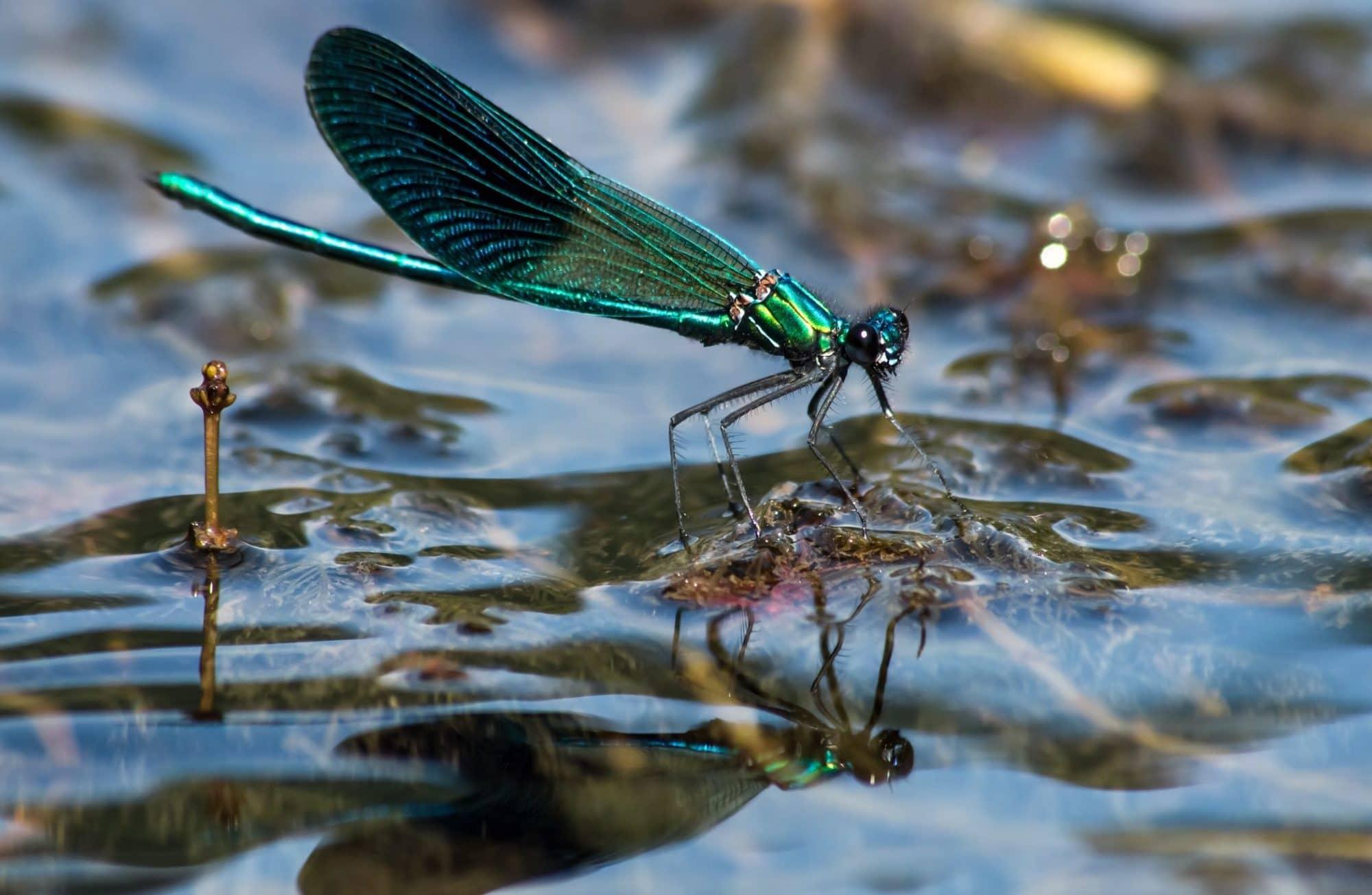 Top 7 des insectes à retrouver dans nos bassins
