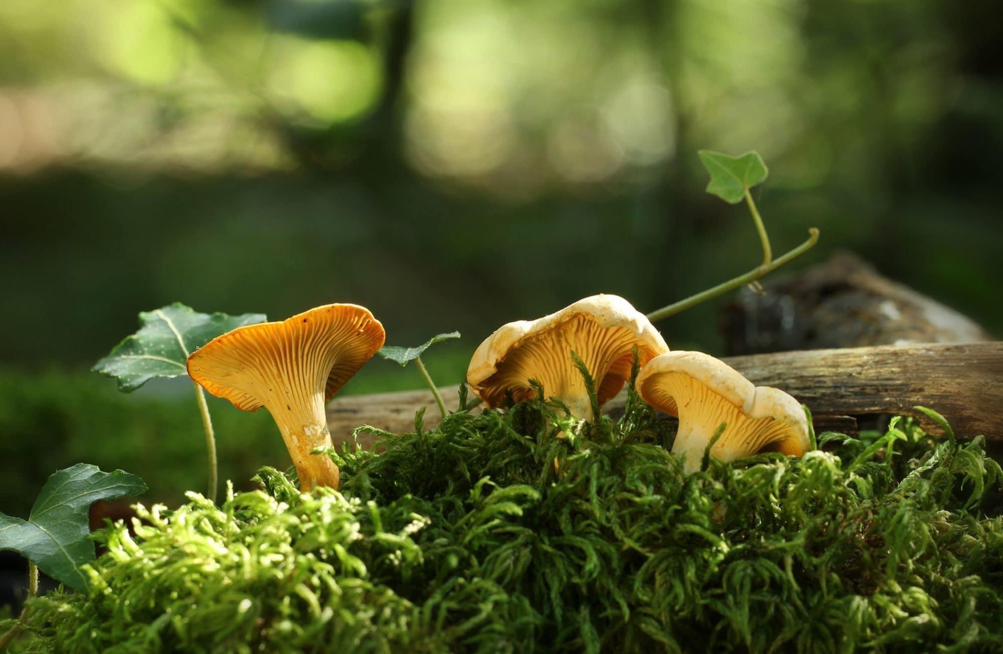 Top 10 des champignons de nos forêts