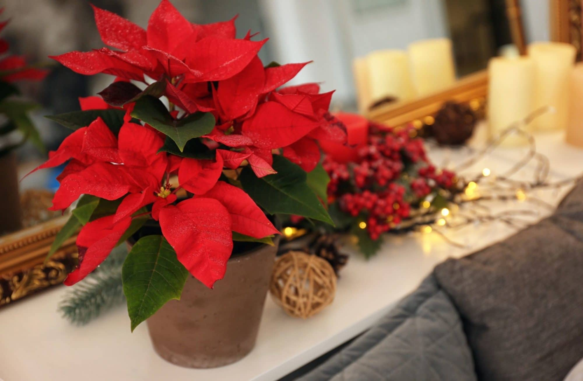 Quelles sont les plantes en fleurs pour Noël ?