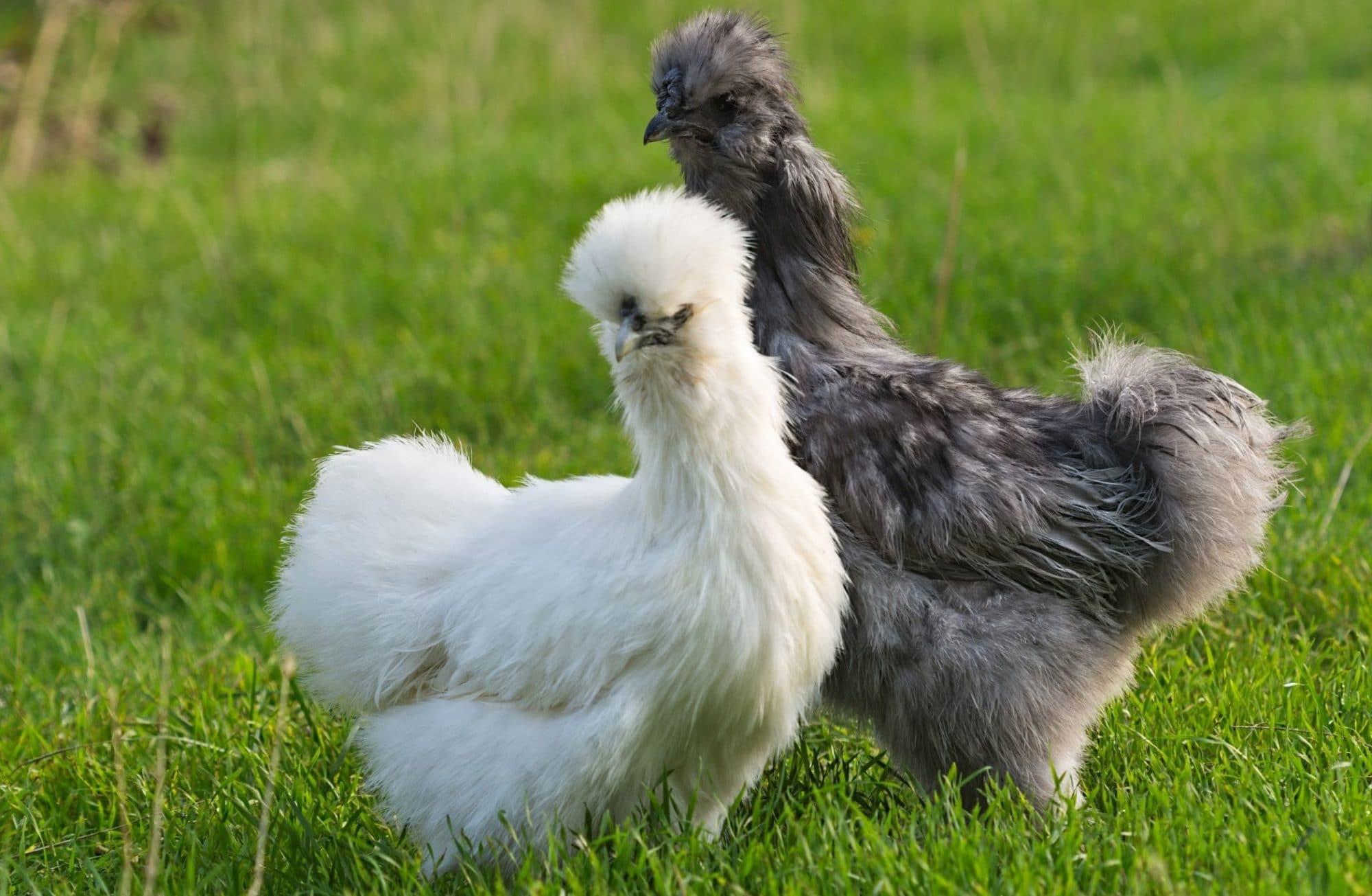 Top 5 des plus belles poules naines