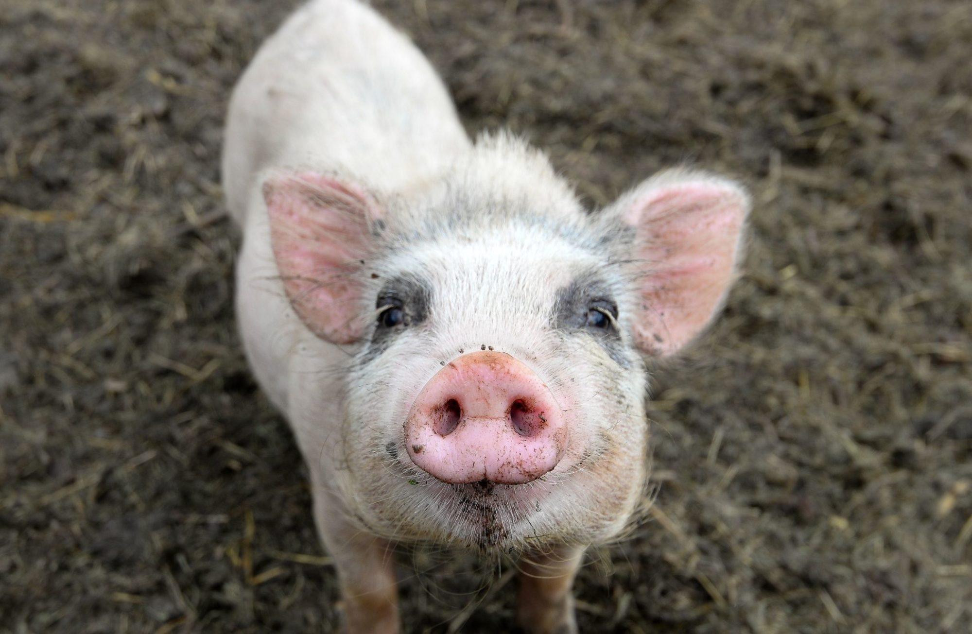 6 choses que vous ne soupçonniez pas à propos du cochon nain vietnamien